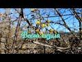 Весна кизила К празднику в Крыму зацвел кизил. Морозы конца февраля задер