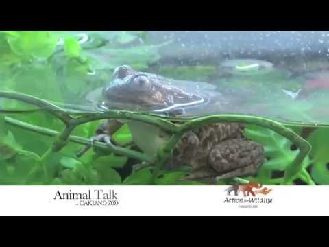 Oakland Zoo Helps Save Sierra Nevada Yellow-Legged Frogs
