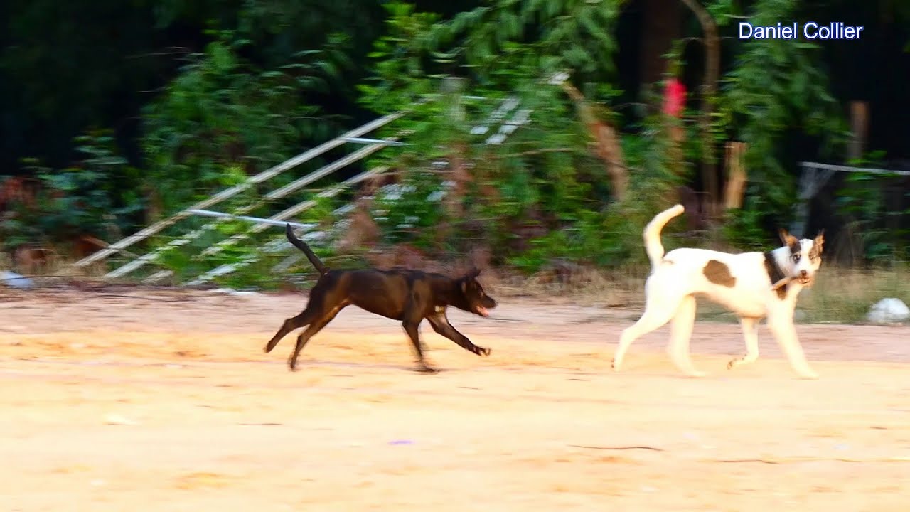 Evening Meeting Of Real Dog in My Countryside, Do you like Pest?