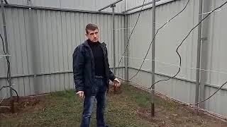 видео Выращивание киви  в саду
