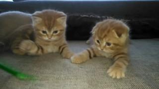 Шотландские солнечные котята