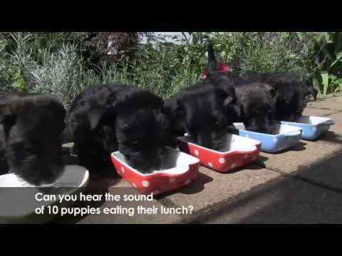 Scottie Scottish Terrier Puppies Youtube