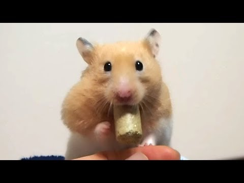 限界を感じた後の去り方がカッコイイおもしろ可愛い癒しハムスターHow to leave after He felt the limit was cool hamster