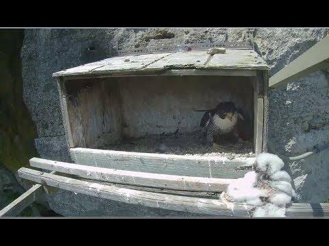 Great Spirit Bluff Falcon Cam ~ Michelle To The Rescue Again & Again 5.28.17