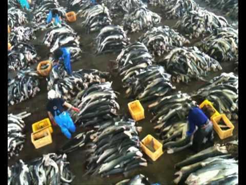 Japan's Shark Fin Capital, Kesen-numa City