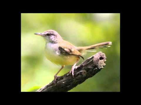 Mp3 Suara Burung Perenjak Download   bursa burung