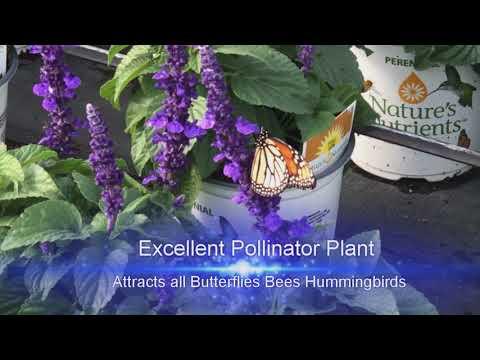 Salvia Mysty Florida Friendly Plant Gardening