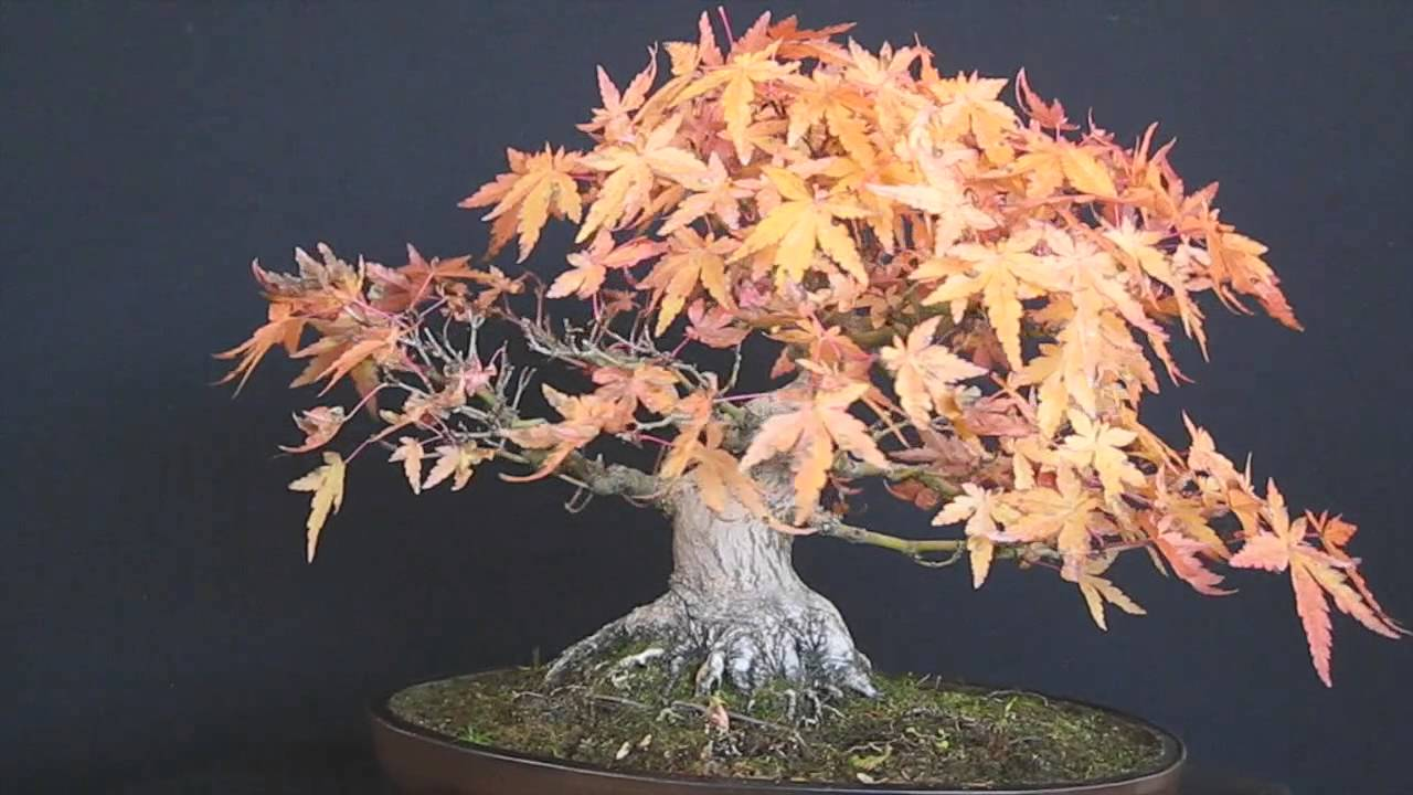 vendita bonsai acero palmatum shoin youtube