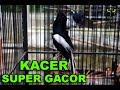 Kicau Burung Kacer Full Isian Juara Internasional Burung Kacer Gacor Suara Tembakan Keras Gratis(.mp3 .mp4) Mp3 - Mp4 Download