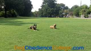 Tommy Training Session With Dog Obedience College Memphis