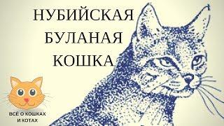 Нубийская буланая кошка.Дикая кошка