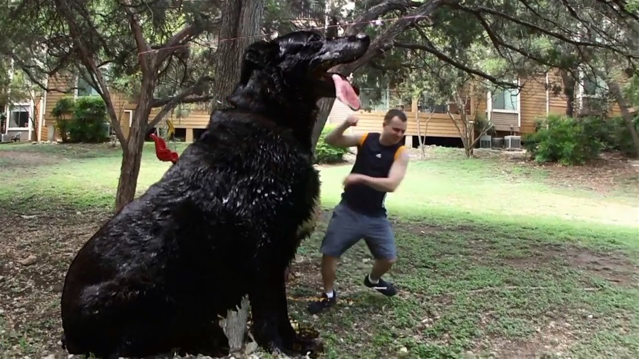 The biggest dog in the world! - YouTube
