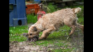 Ratting Border Terriers