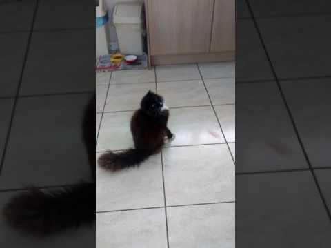 Norwegian forest cat 'yana' playing.