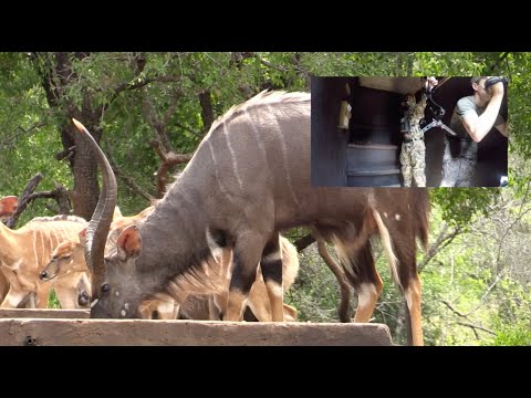 Bowhunting Africa   Perfect Shot On A HUGE Nyala W: African Bowhunting Adventures
