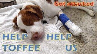 Toffee got attacked by another dog | HELP HIM HELP US | Dog Accident
