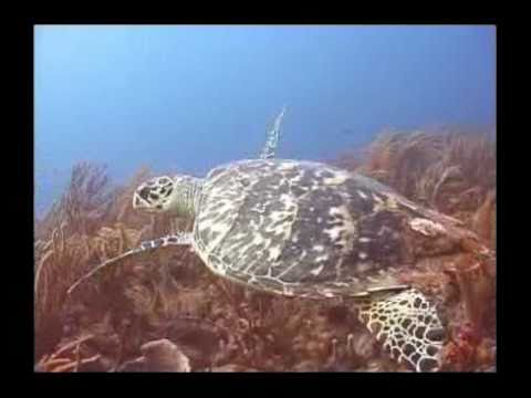 Turtles of the Caribbean Sample by THE DIGITAL AQUARIUM