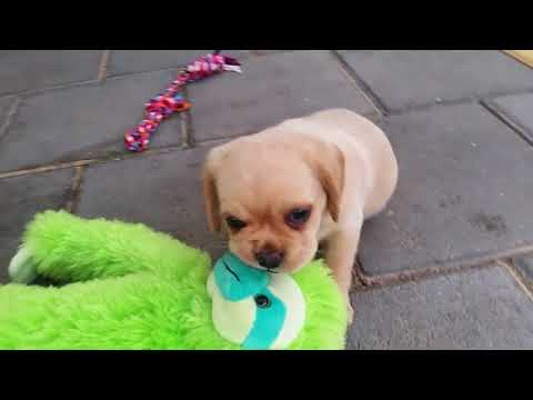 6 Week old female Pugalier puppy playing outside