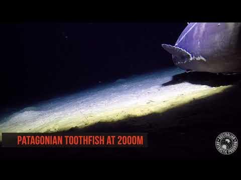 Antarctica's Deep Sea Dwellers   Toothfish