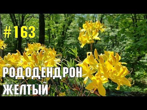 Рододендрон желтый | Жизнь в Адлере