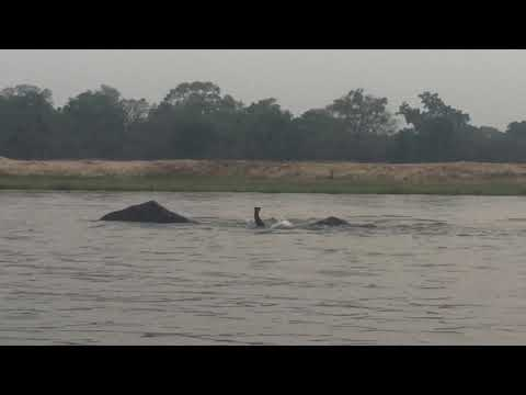 Elephants swimming Lower Zambezi - Mvuu Lodge - part 1