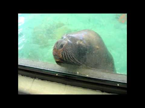 Sea Lion at Edmonton Valley Zoo