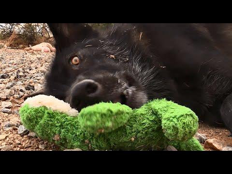 Wolf vs. Dog (Problem Solving)