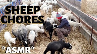 *ASMR*  A quiet day of chores on the sheep farm.  Vlog 231