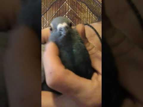 Как отличить самку от самца голубя