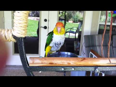 My white bellied caique bathing!