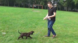 Dog School: belangrijke tips om uw puppy mee te leren lopen aan de lijn