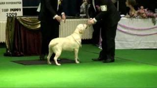 East Anglian Supermatch Dog Show - Labrador Allenies Olivia
