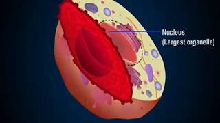 Строение ядра клетки
