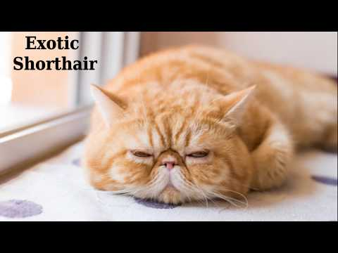 Exotic Shorthair - cat breed