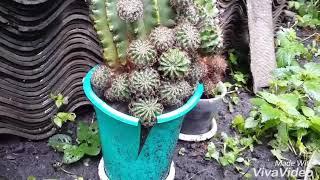 УХОД ЗА СУККУЛЕНТАМИ: как отсадить детку кактуса. Горный эхинопсис, розмножение