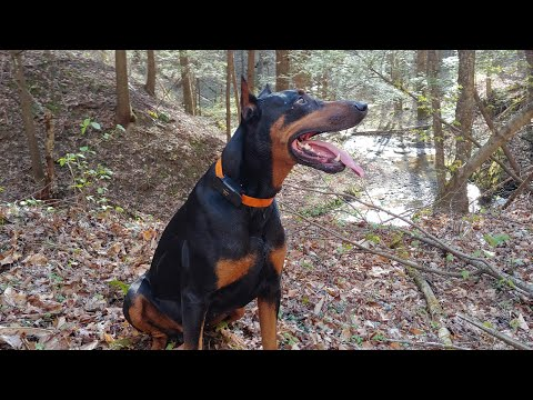 Doberman Pinscher Vlog - Extreme Spring Weather in West Virginia - going for a RUN