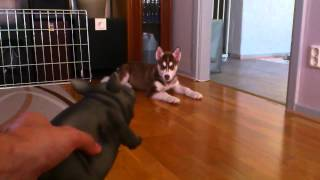 Brown/red Siberian Husky Puppy Playing With Pig Toy