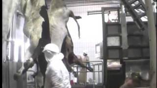 Abattage standard des bovins - Charal Metz