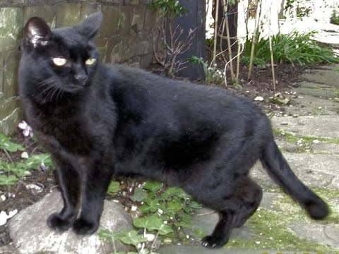Bombay Cat Breed | Bombay Cat History and Facts