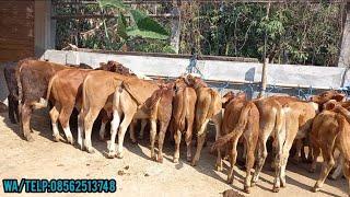 Gudang bibitan sapi super dan harga murah,sapinya bagus dan merakyat