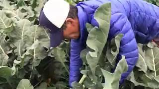 에덴유기농 브로콜리