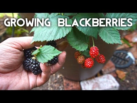 Growing Blackberries In Containers - The Complete Guide