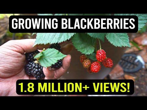Growing Blackberries In Containers