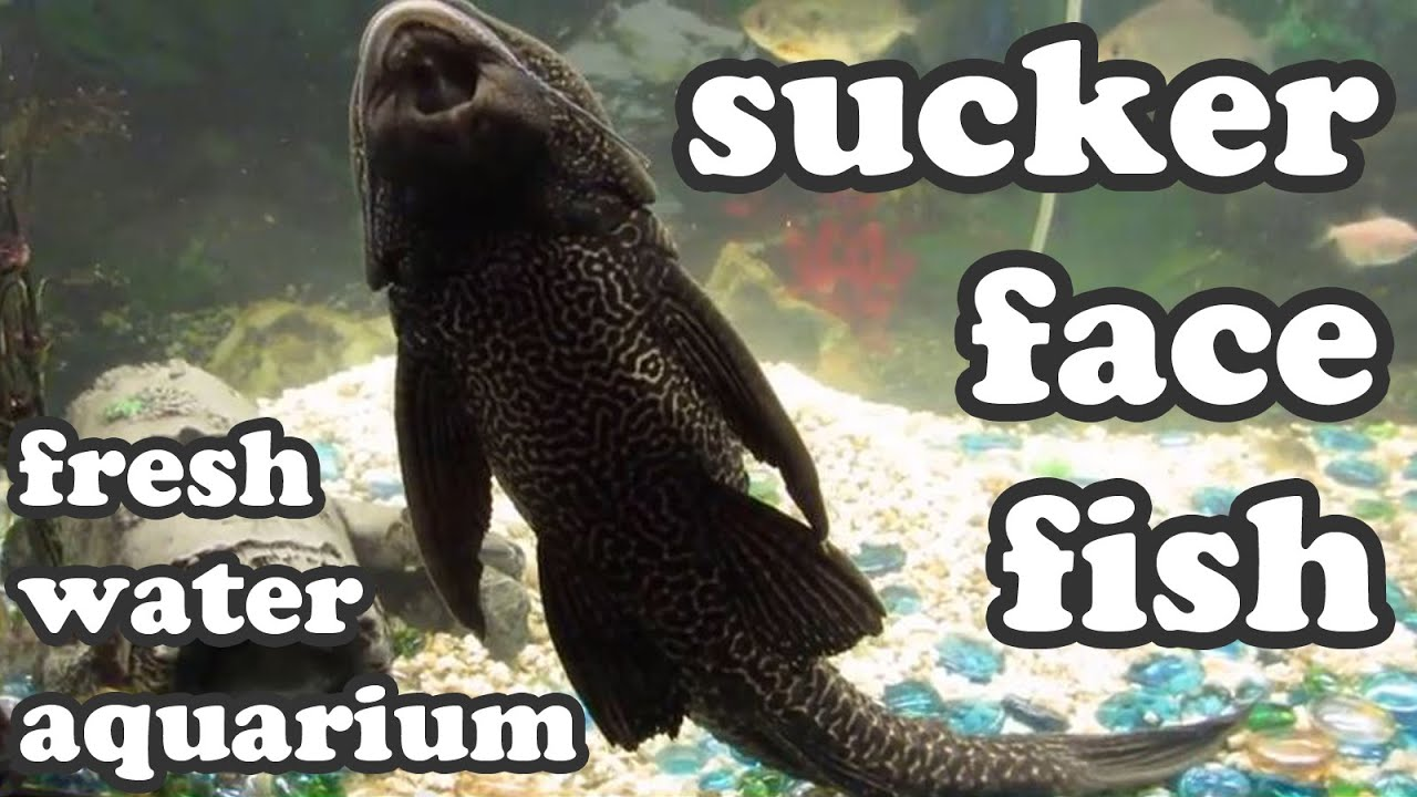 Fish that sucks