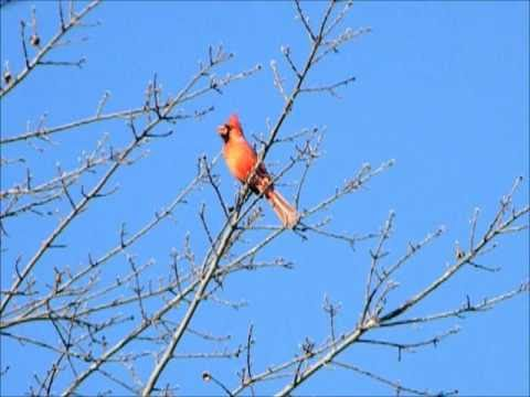 Northern Cardinal Morning Calls - male & female