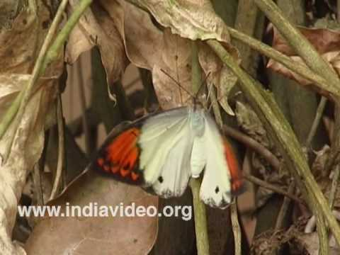 Giant Orange Tip or Hebomoia glaucippe