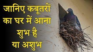 जानिए कबूतरों का घर में आना शुभ है या अशुभ # घर में अगर कबूतरों का घोंसला है तो क्या हो सकता है