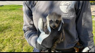 Almost Out Of Reach! Baby Raccoon Removal