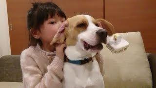 Beagle #ビーグル #うぃるさん ゆらちゃんにかいてもらったりマッサージし...