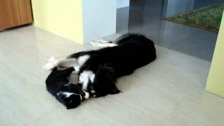 Бурят-монгольская собака. Хотошо и кот